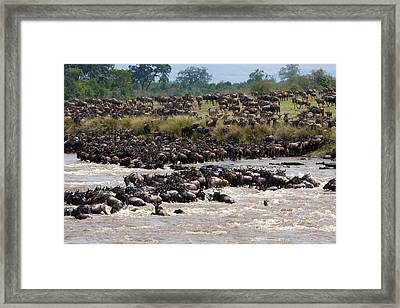 Masai Mara The Great Migration Framed Print by Paco Feria