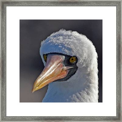 Masked Booby Framed Print by Larry Linton