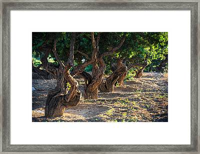 Mastic Tree   Framed Print by Emmanuel Panagiotakis