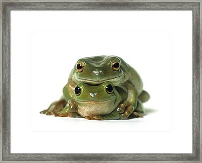 Mating Frogs Framed Print by Darwin Wiggett