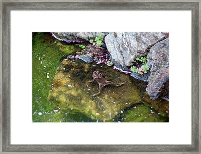 Mating Season At The Frog Pond II Framed Print by Suzanne Gaff