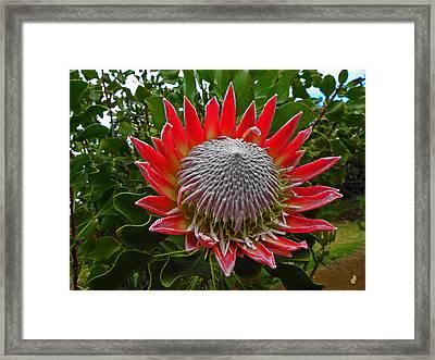 Maui King Protea I Framed Print by Elizabeth Hoskinson