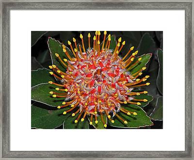 Maui Protea I Framed Print by Elizabeth Hoskinson