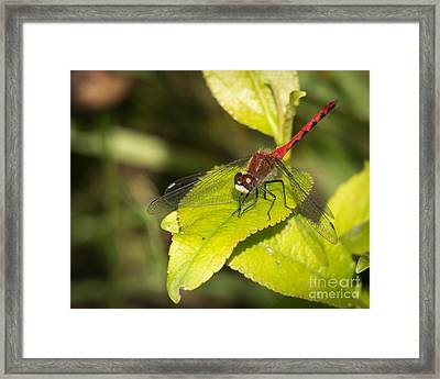 Meadowhawk Framed Print by Donna Crider