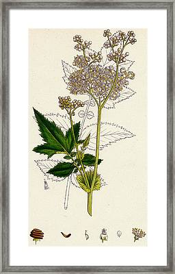 Meadowsweet Or Mead Wort Framed Print by Unknown