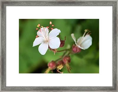 Medusa Flower Framed Print by Karen M Scovill