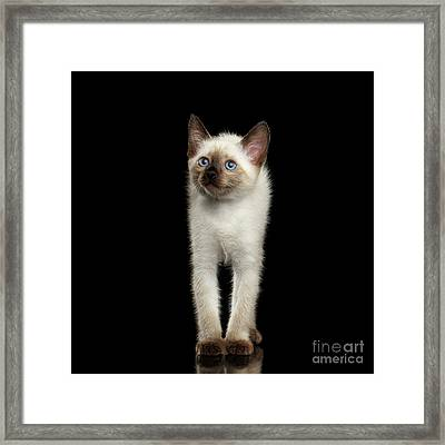 Mekong Bobtail Kitty With Blue Eyes On Isolated Black Background Framed Print by Sergey Taran