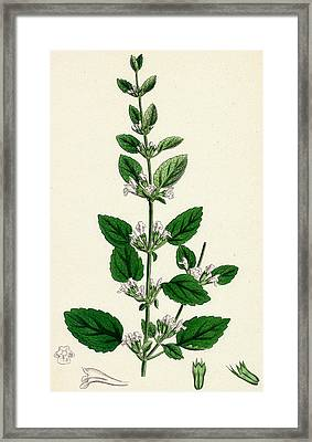 Melissa Officinalis Common Balm Framed Print by Unknown