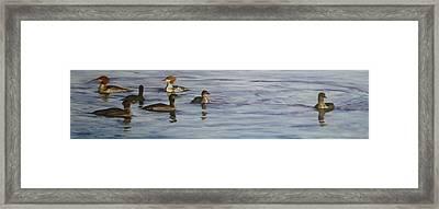 Mergansers Join In Framed Print by Terry Honstead