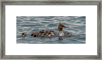 Mergansers Swimming Framed Print by Paul Freidlund