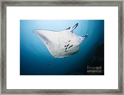 Micronesia Manta Ray Framed Print by Dave Fleetham - Printscapes