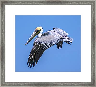 Mid Flight Pelican Framed Print by Michael Frizzell