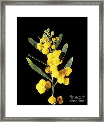 Mimosa Flowers Framed Print by Veronique Leplat