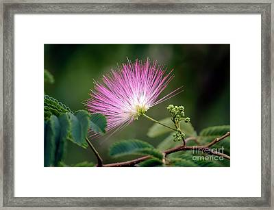 Mimosa1 Framed Print by Steven Foster