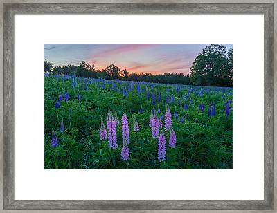 Mingo Springs Lupines Framed Print by Stephen Beckwith