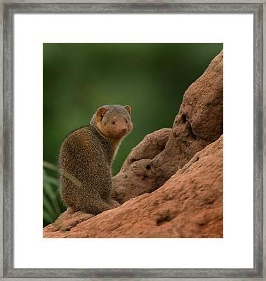 Mini Mongoose Framed Print by Joseph G Holland