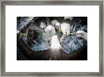 Mollymawk Fight Framed Print by Mark Bridgwater