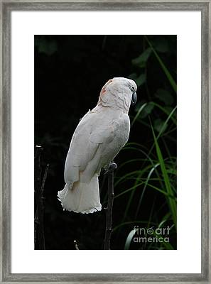 Moluccan Cockatoo #2 Framed Print by Judy Whitton