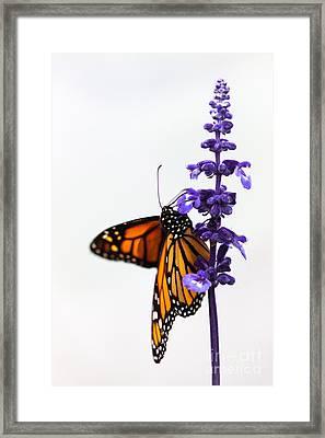 Monarch Butterfly Framed Print by Ana V  Ramirez
