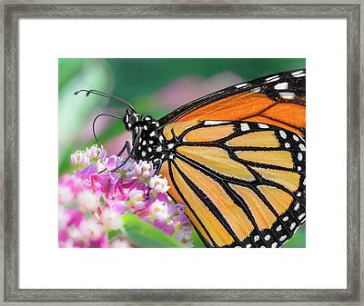 Monarch Butterfly On Milkweed Framed Print by Jim Hughes