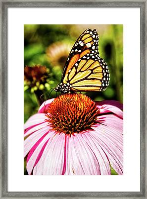 Monarch Butterfly Framed Print by Robert Bales