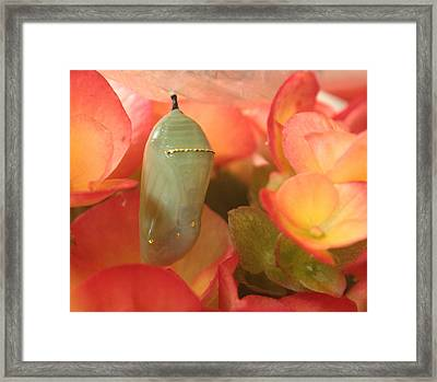 Monarch Chrysalis  Framed Print by Nancy TeWinkel Lauren