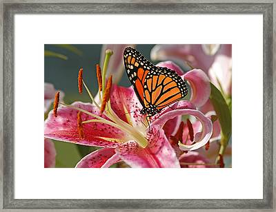 Monarch On A Stargazer Lily Framed Print by Cindi Ressler