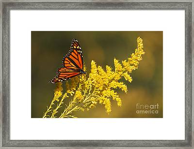 Monarch On Goldenrod Framed Print by Dennis Hedberg