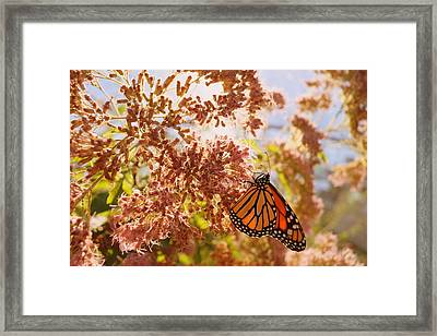 Monarch On Milkweed Framed Print by Beth Collins