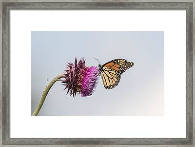 Monarch On Thistle 2015-1 Framed Print by Thomas Young