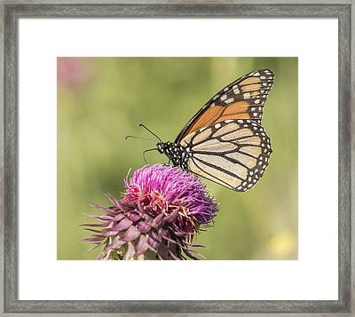 Monarch On Thistle Framed Print by Thomas Young