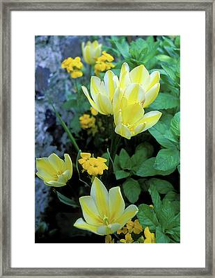 Monet's Fancy Tulips Framed Print by Kathy Yates