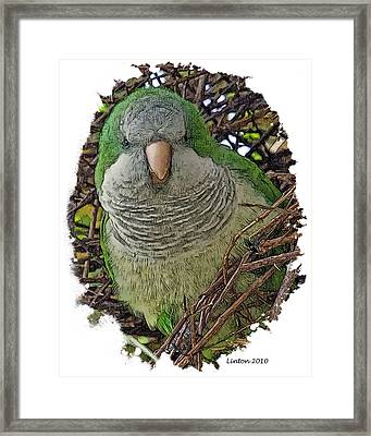 Monk Parakeet Framed Print by Larry Linton