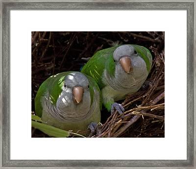 Monk Parakeet Pair Framed Print by Larry Linton