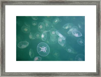 Moon Jellyfish (aurelia Aurita) In Sea Framed Print by Peter Lilja