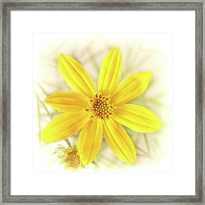 Moonbeam Coreopsis Framed Print by Kurt Golgart