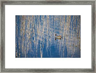 Moorhen In The Reeds Framed Print by Carolyn Marshall