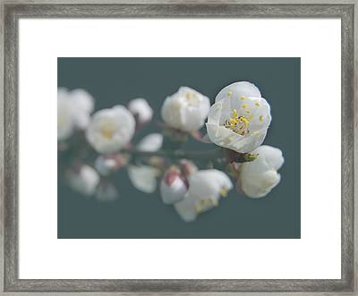 Moorpark Apricot B 4212 Framed Print by Michael Peychich