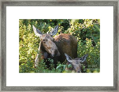 Moose - White Mountains New Hampshire  Framed Print by Erin Paul Donovan