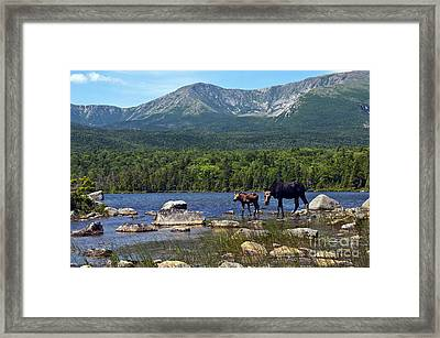 Moose Baxter State Park Maine 2 Framed Print by Glenn Gordon