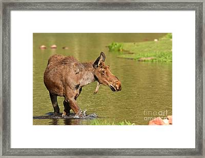 Moose In Maroon Lake Framed Print by Adam Jewell