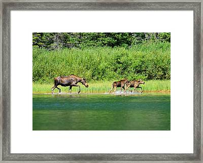 Moose Play Framed Print by Greg Norrell