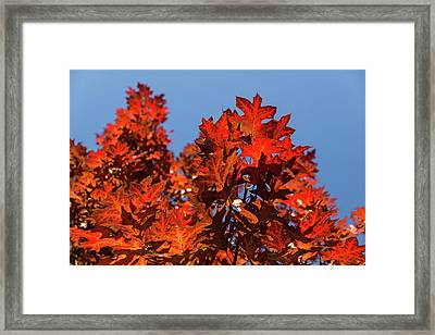 More Than Fifty Shades Of Red - Glossy Leathery Oak Leaves In The Sunshine - Upward Framed Print by Georgia Mizuleva