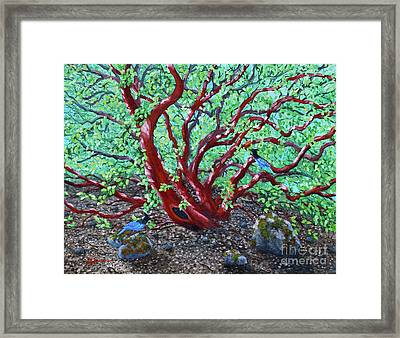 Morning Manzanita Framed Print by Laura Iverson