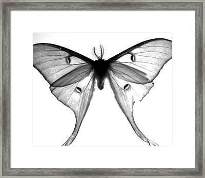 Moth Framed Print by Amanda Barcon