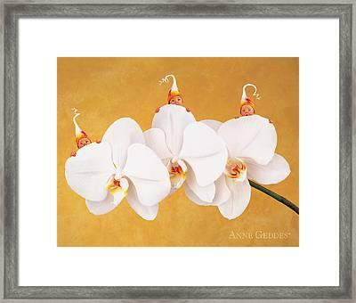 Moth Orchid Triplets Framed Print by Anne Geddes