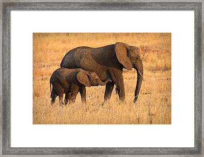 Mother And Baby Elephants Framed Print by Adam Romanowicz