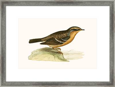 Mountain Accentor, Framed Print by English School