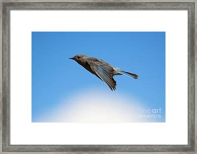 Mountain Bluebird Glide Framed Print by Mike Dawson