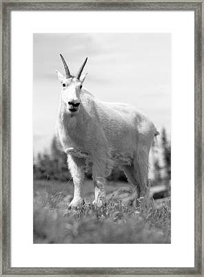 Mountain Goat Framed Print by Sebastian Musial